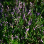 Common Heather tea
